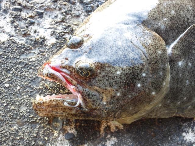 サーフ(浜)からヒラメが釣れる?